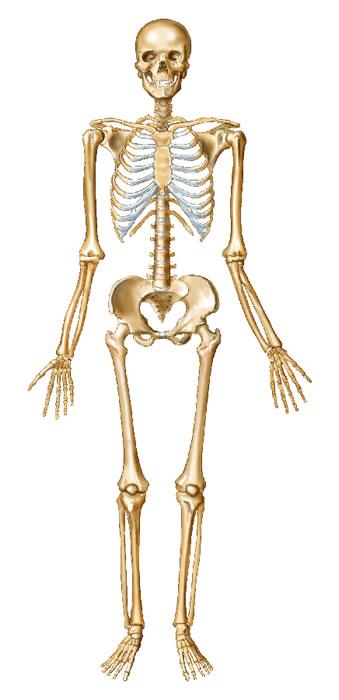 relationship between bones and skeletal muscles